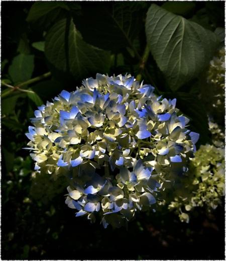 BlueHydrangea1Bokeh3MidtoneSharpenSatBriteConGrainFrayed 2