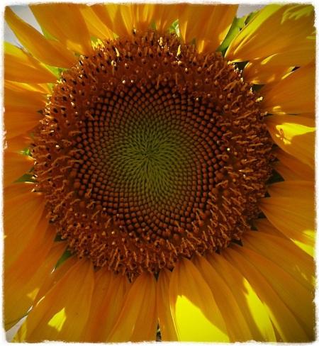 SunflowerBurst 3
