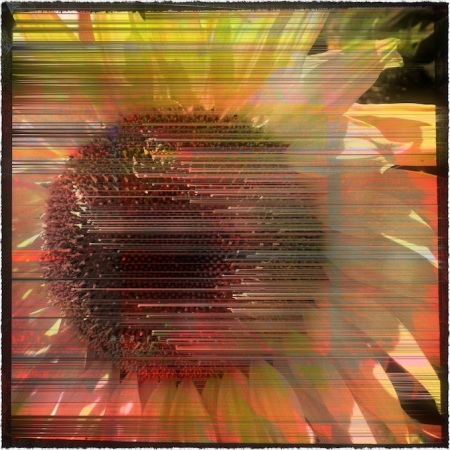 SunflowerDecim8_1Bokeh2MidtoneGrainGlowFrayed 2