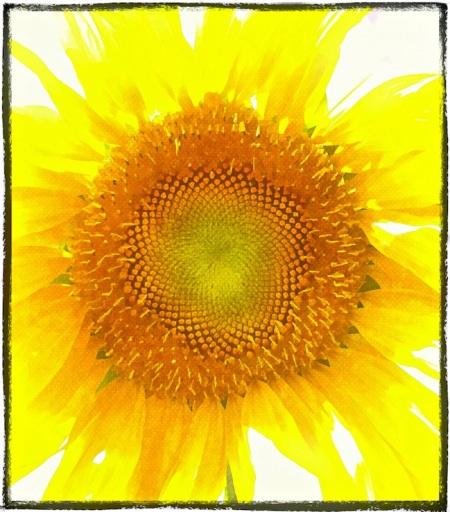 SunflowerOverpaintedBokeh3fullflipMidtoneSharpenGlowSat 2