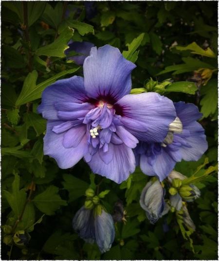 PurpleFlowerBokeh1GrainMidtoneFrayed 2