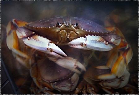 DungenessCrab 2
