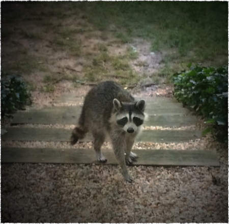 Raccoons4_2Bokeh3MidtoneVignetteSatSharpenFrayed 2