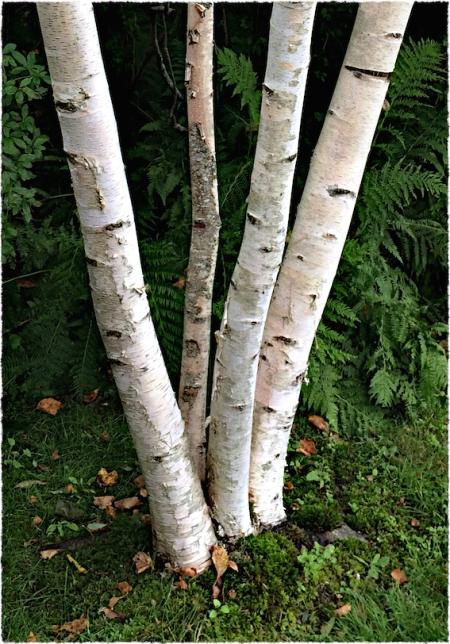 BirchSharpenBokeh1horzflipFrayedGrain2 2