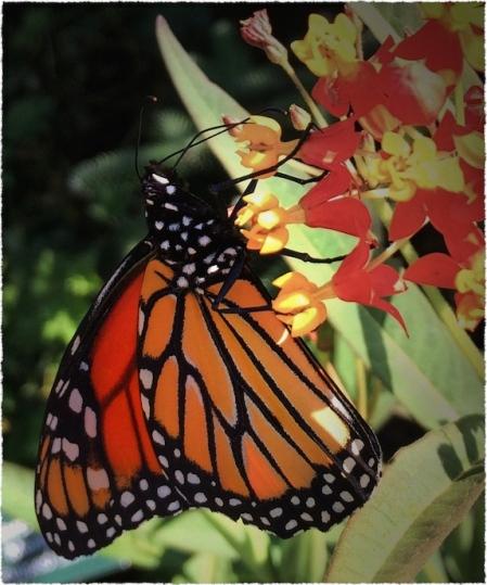 MonarchButterflyMidDetail2VignettesMidtoneGrainSatFrayed 2