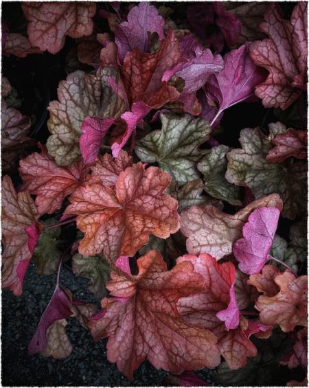 AutumnalCoralBellsIntensify2_2SnaphealVignetteLeftBottomMidtoneFrayed 2