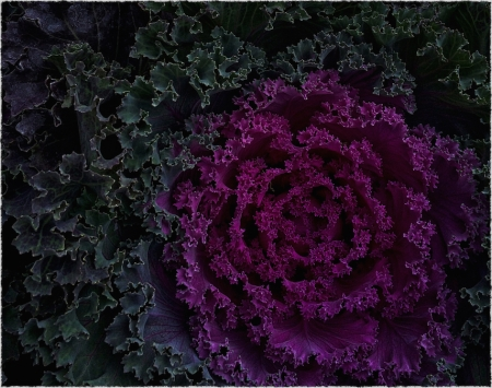 Cabbage1_2Intensify1Bokeh3ShadowsFrayed 2