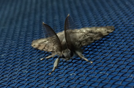 MothEars 2