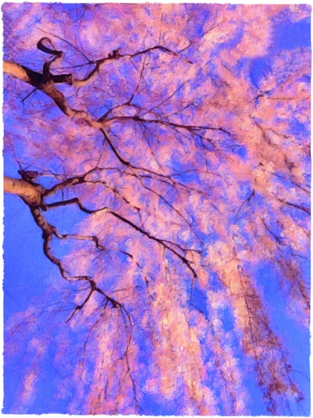 CherryBlossomsAtSunsetBrushed 2.jpg