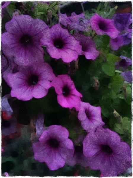Petunias9FlareGrit 2.jpg