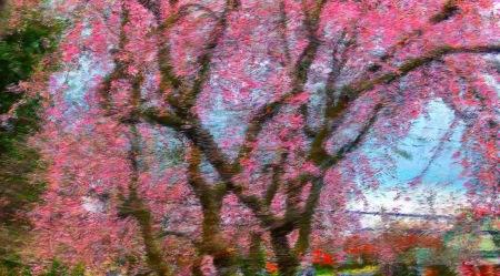 CherryBlossoms1 2.jpg